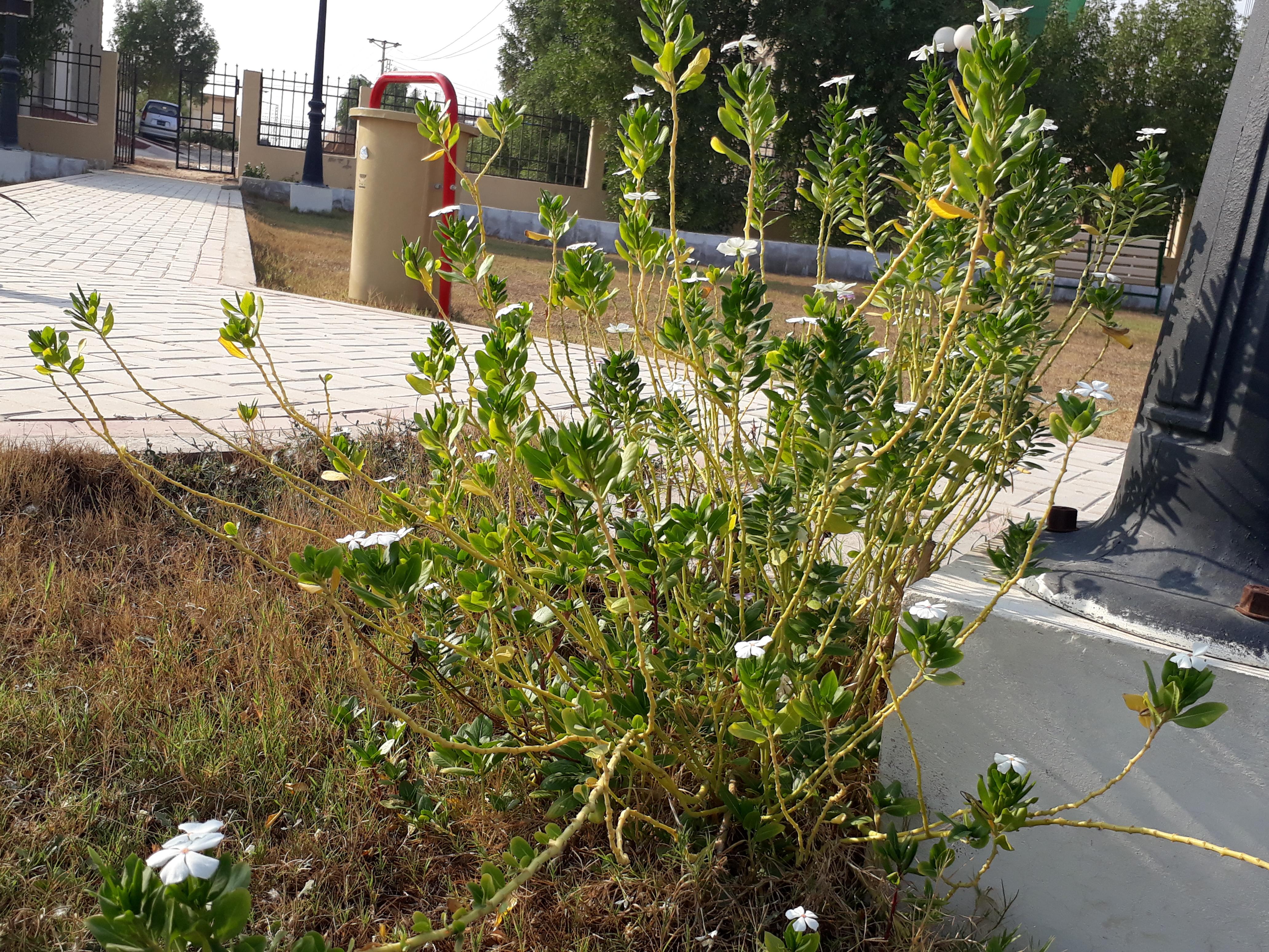 File:A Catharanthus Roseus bush in Hyderabad, Pakistan jpg