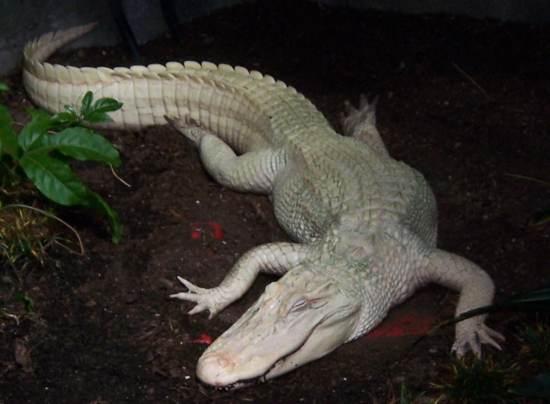 Albino Alligator at Louisville Zoo