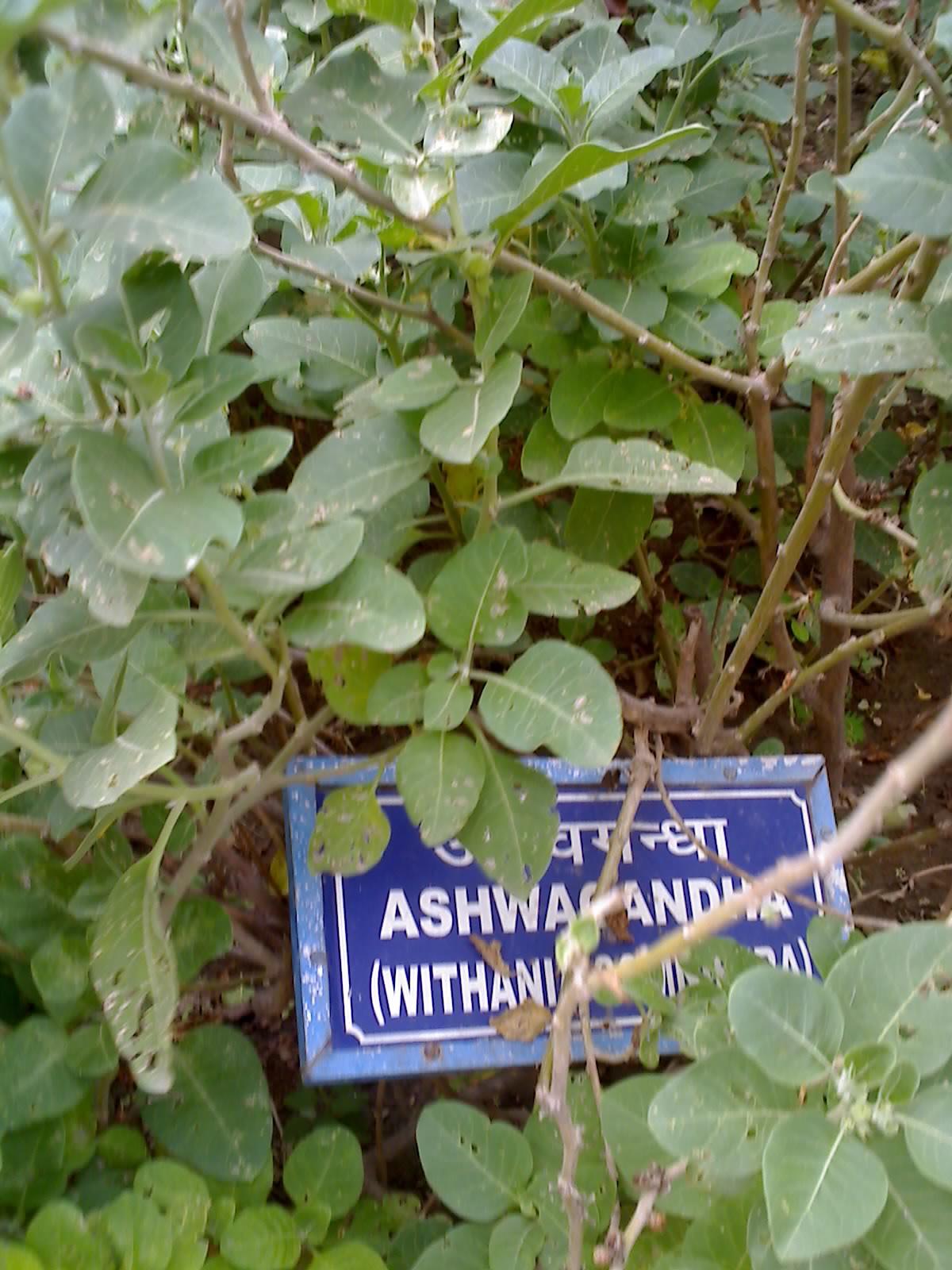 Ashwagandha Wikipedia