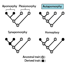 Autapomorphy Distinctive feature, known as a derived trait, that is unique to a given taxon
