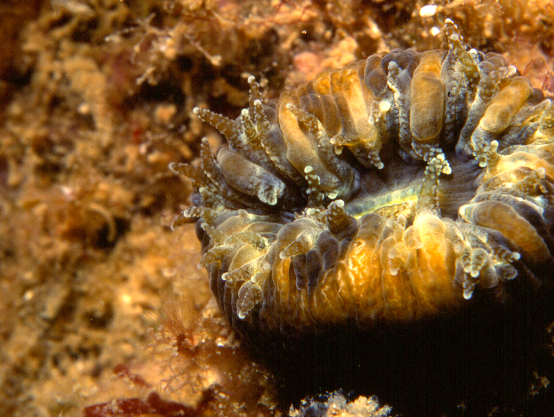 Balanophyllia europaea (Risso, 1826)