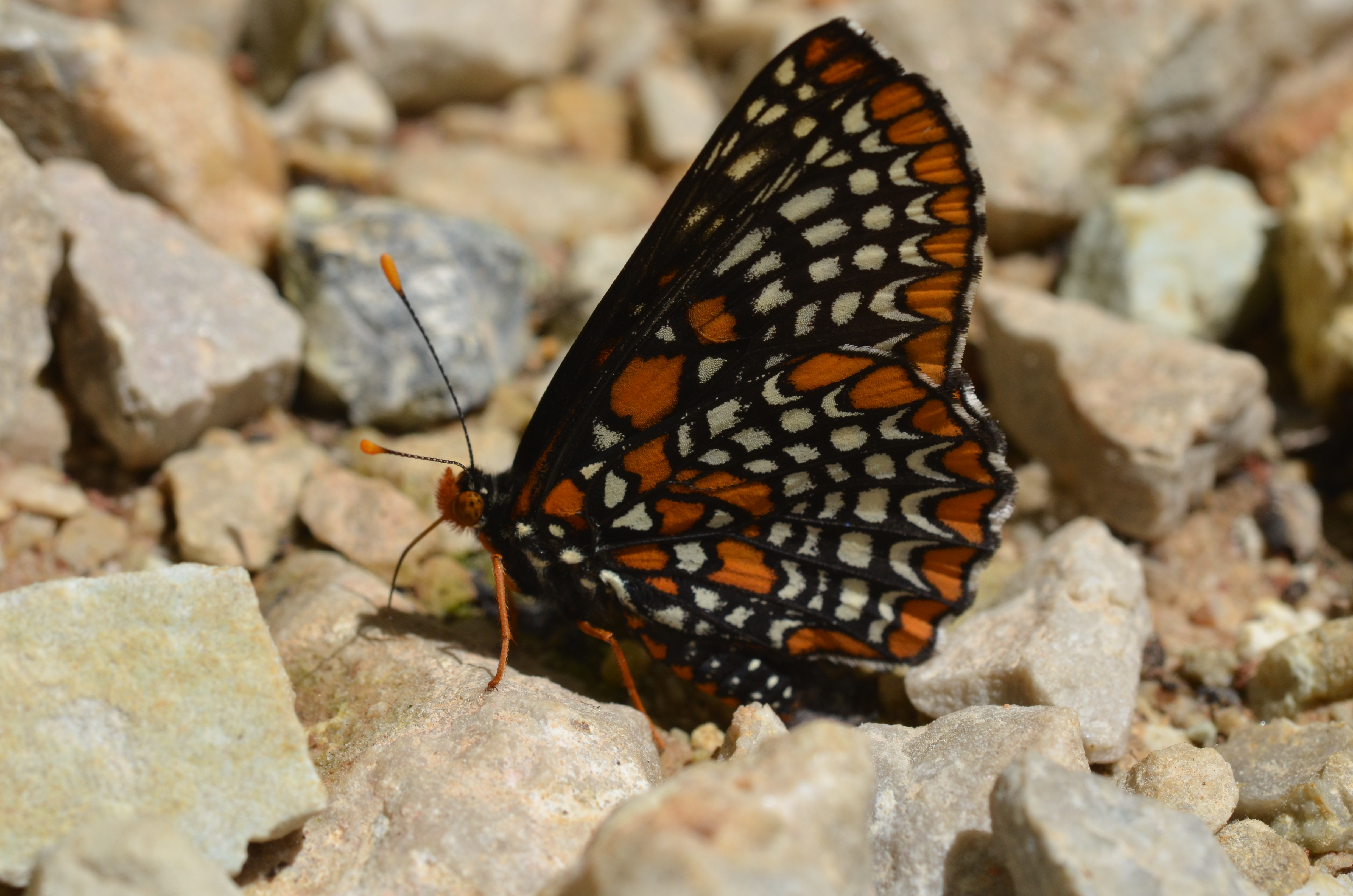 This Baltimore checkerspot butterfly while the butterfly has clubbed antenna and is holding its wings upright.