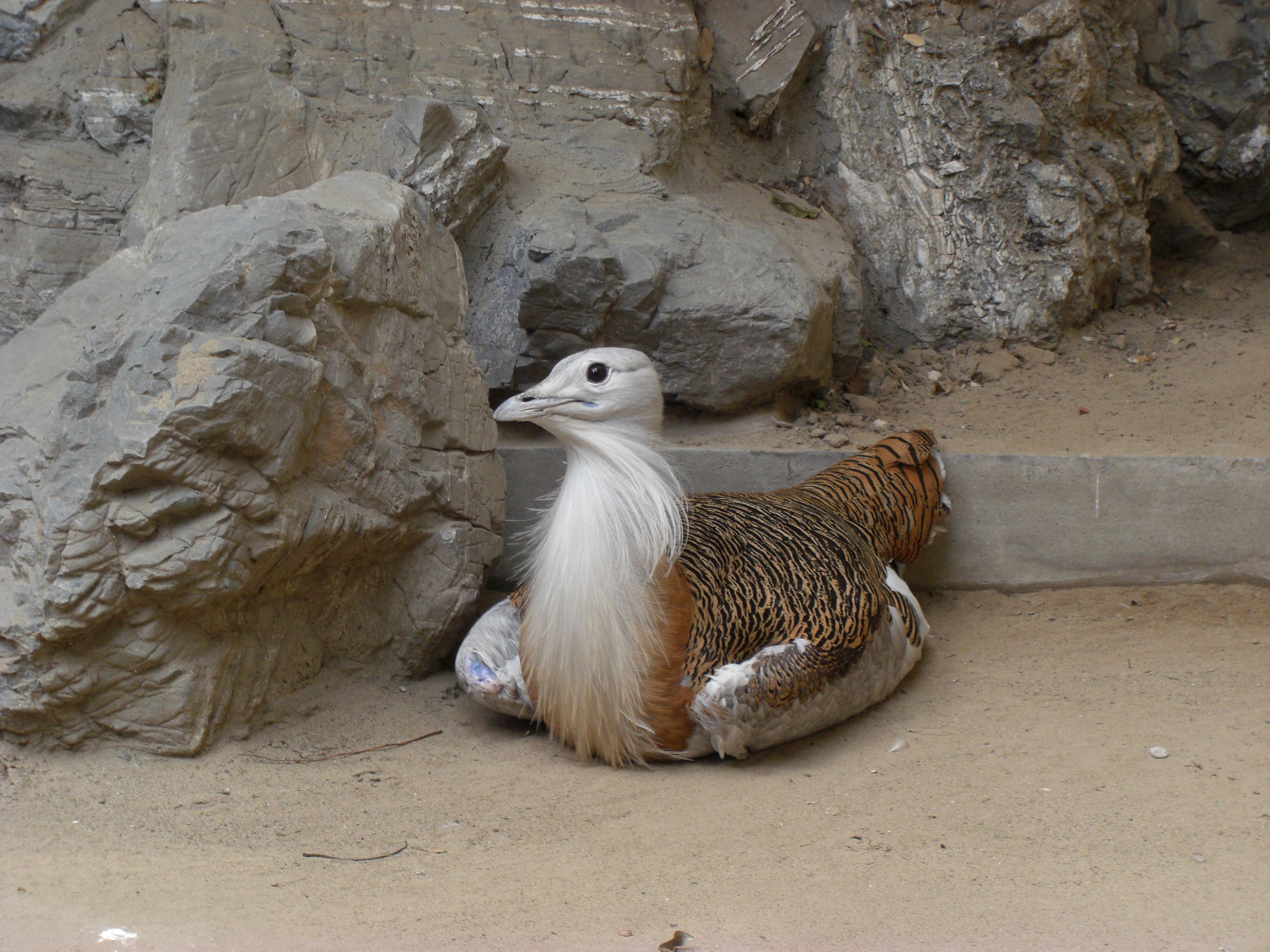 great bustard at beijing zoo