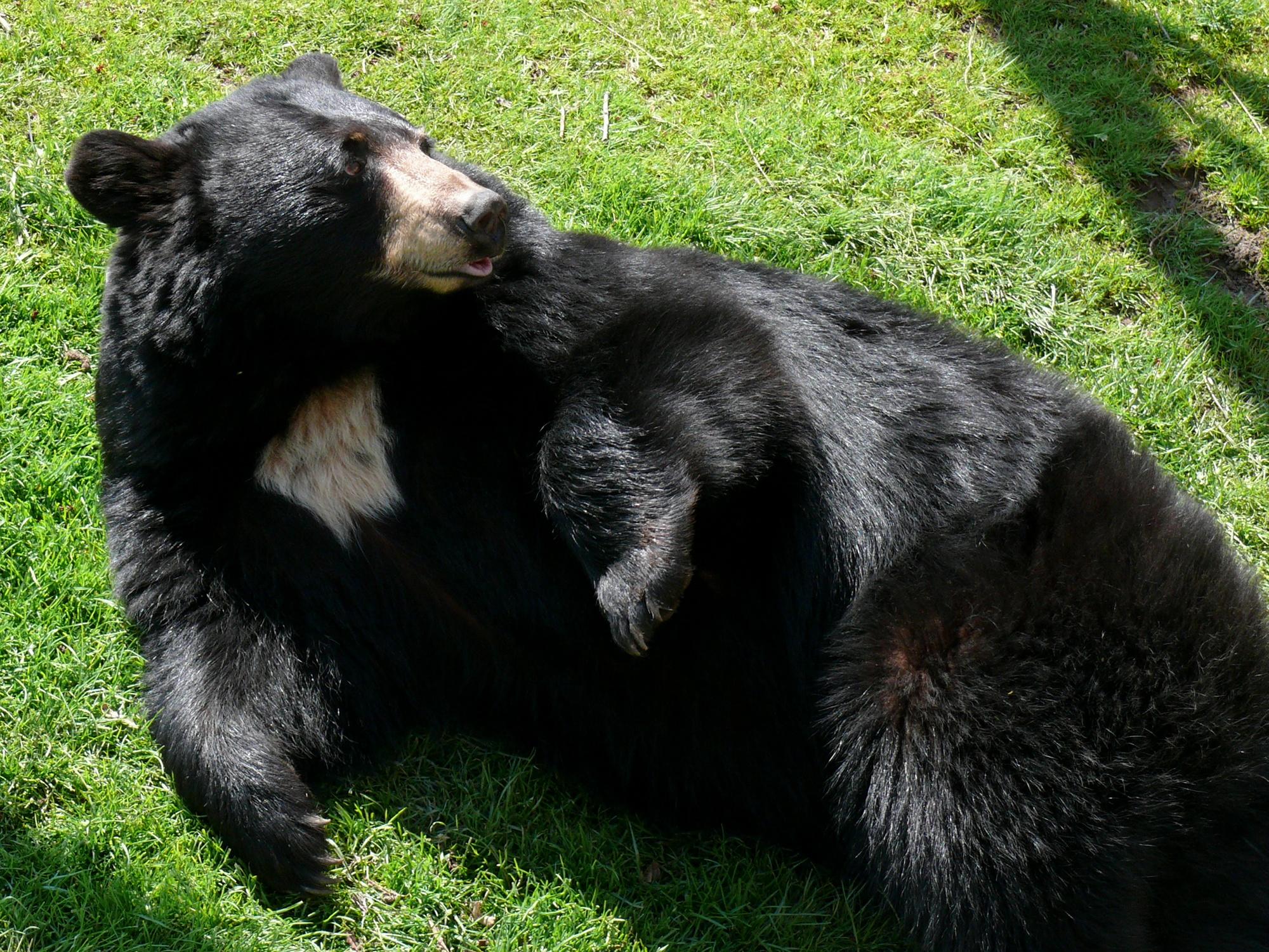 Moon Chart For Hunting: American black bear - Wikipedia,Chart