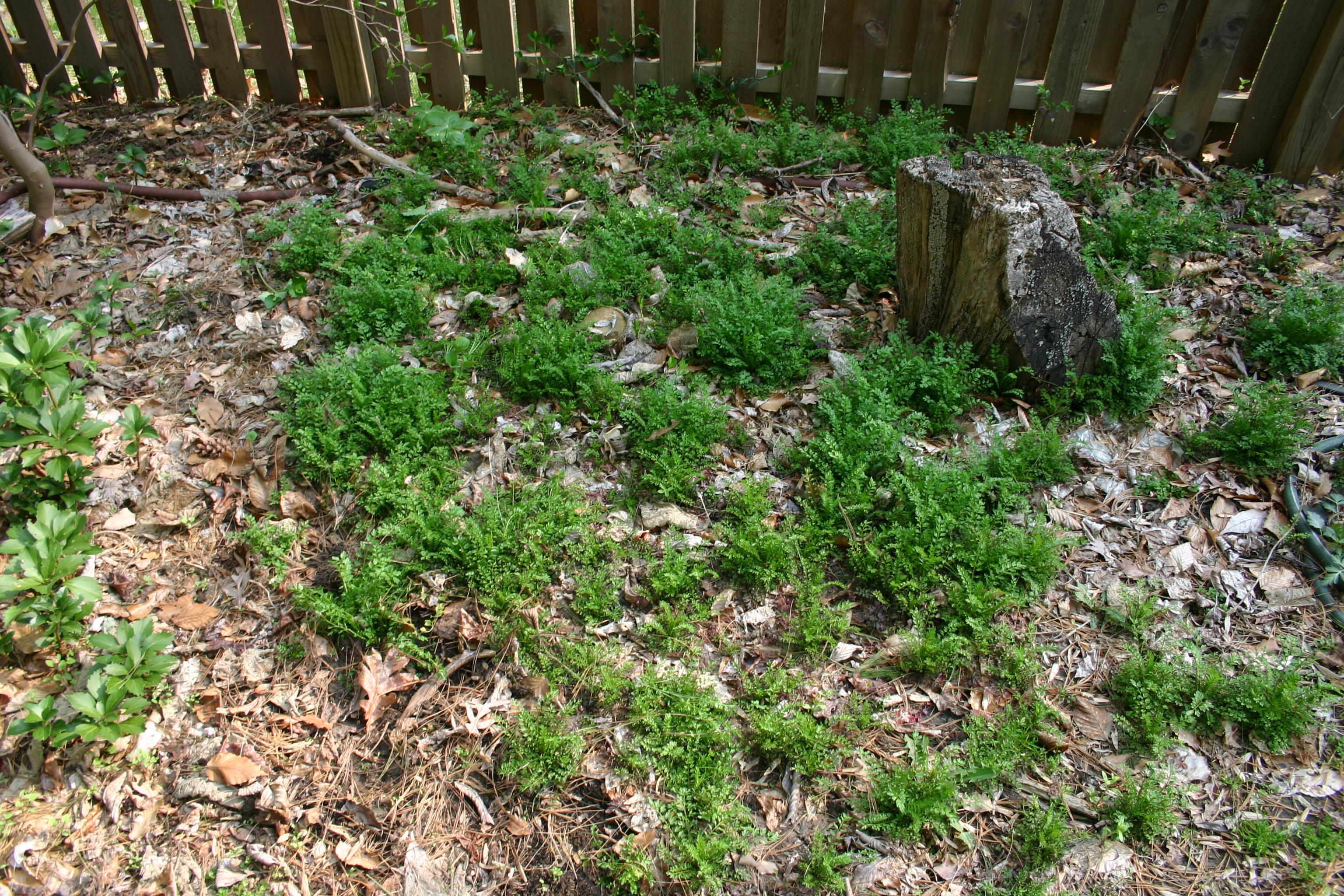 File brassicaceae weed 001 jpg wikimedia commons - Weeding garden make work easier ...