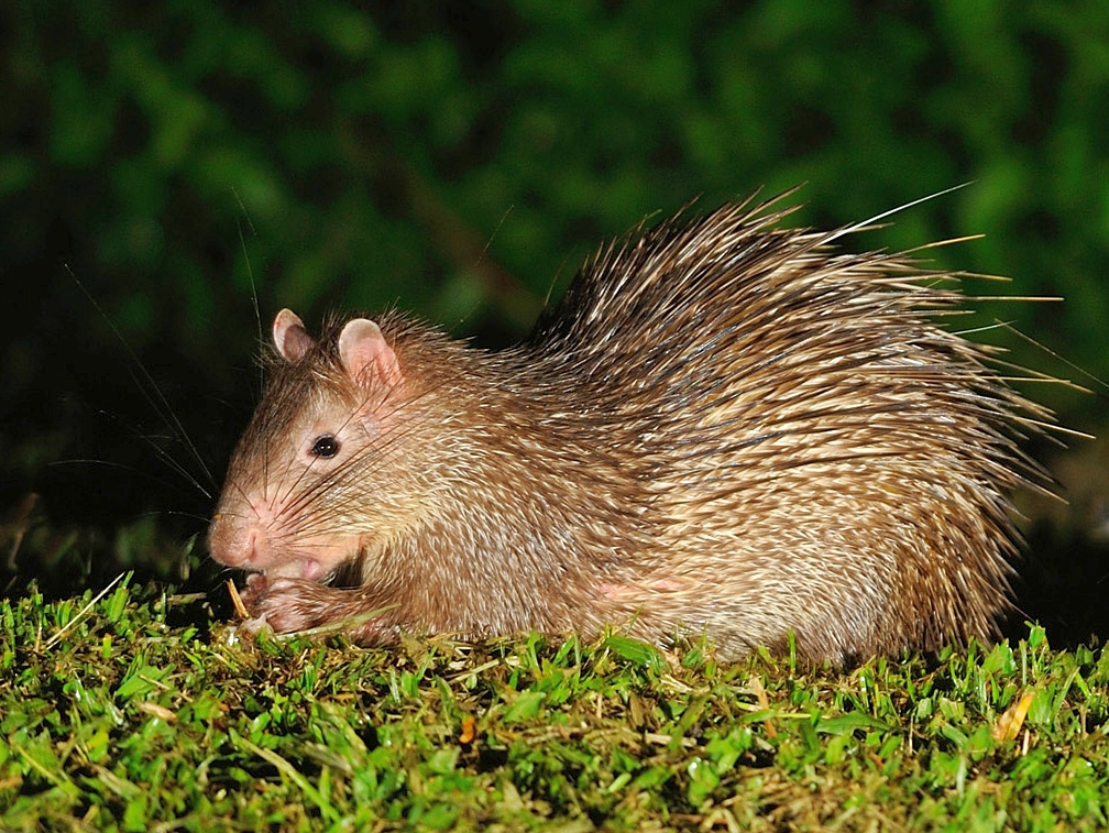 Asiatic brush-tailed porcupine - Wikipedia