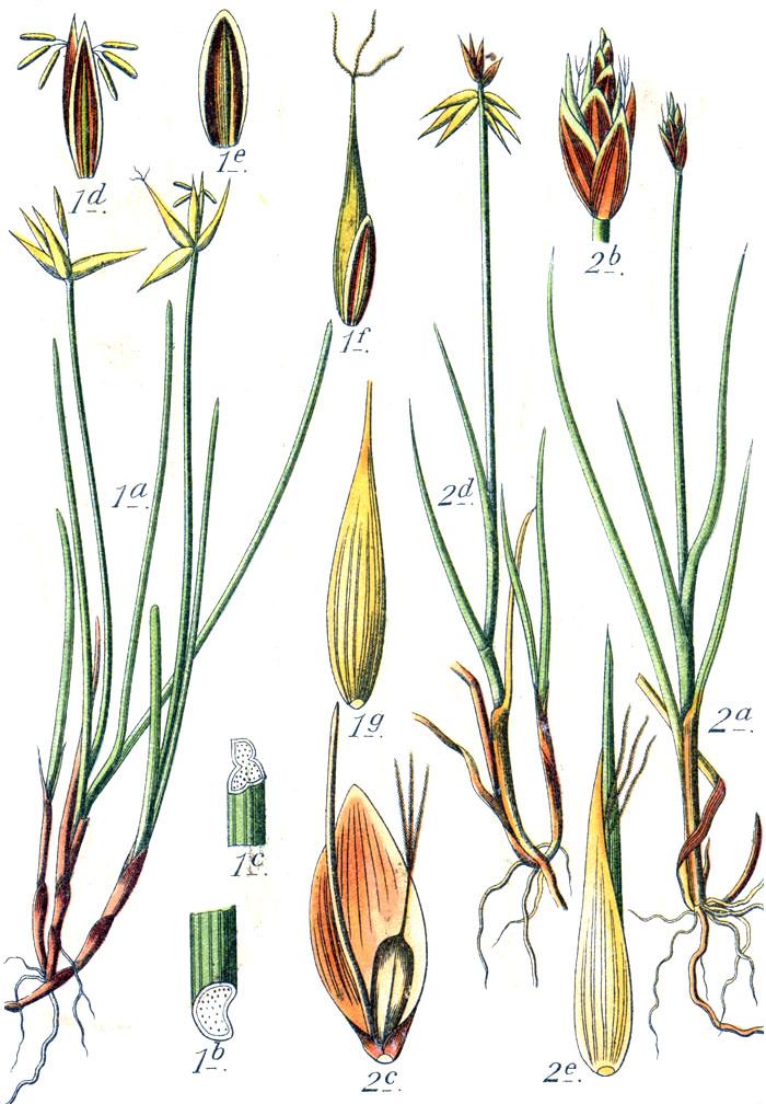 растения вызывающие аллергию фото