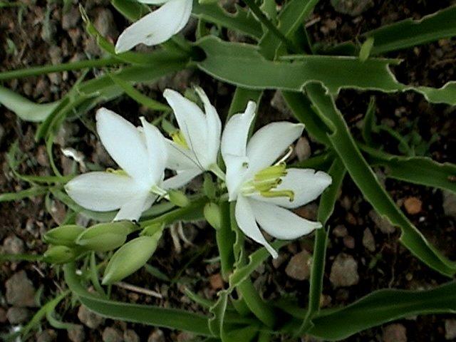 പ്രമാണം:Chlorophytum tuberosum.jpg