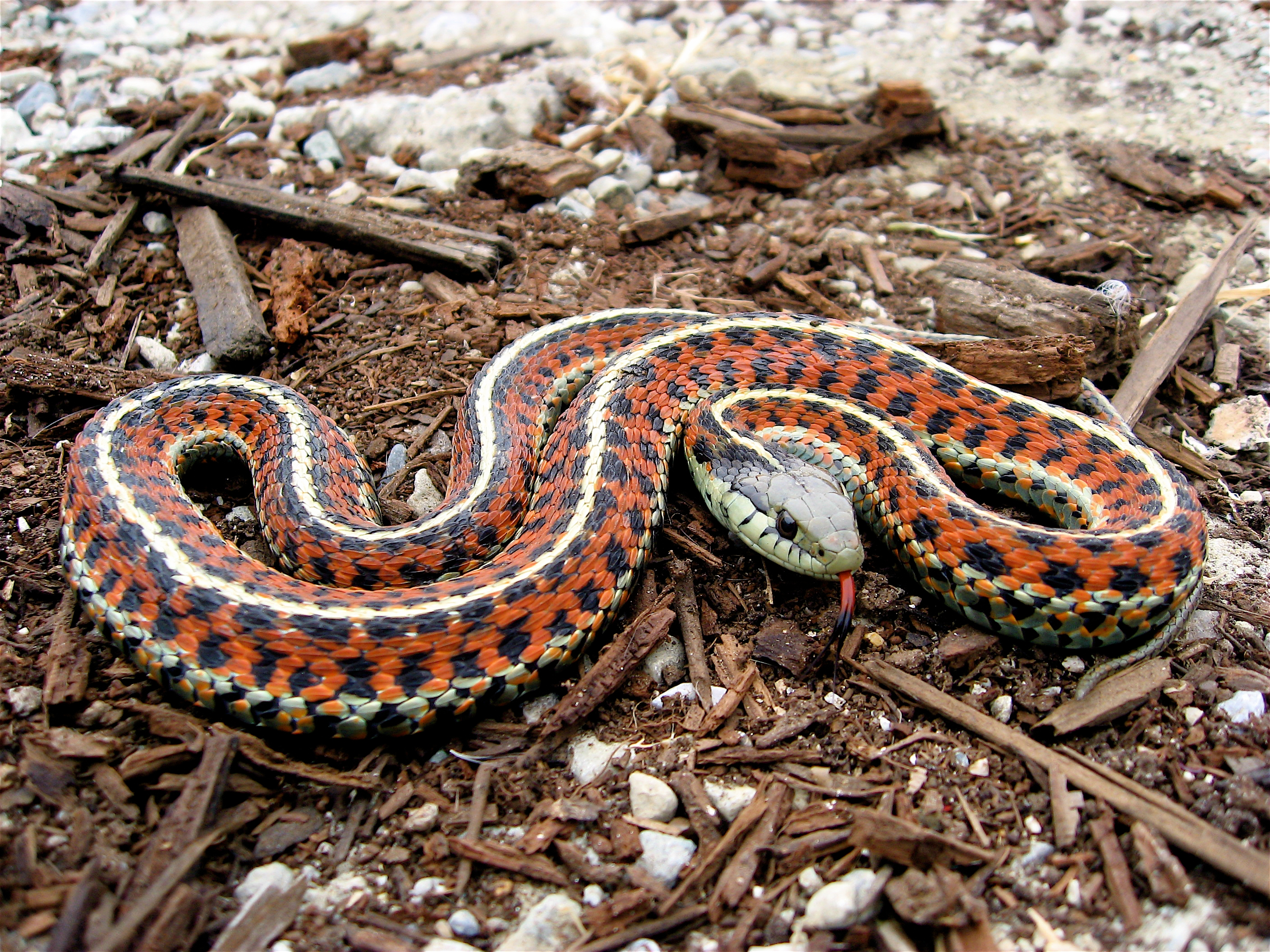 The Garter snake has been studied for sexual selection