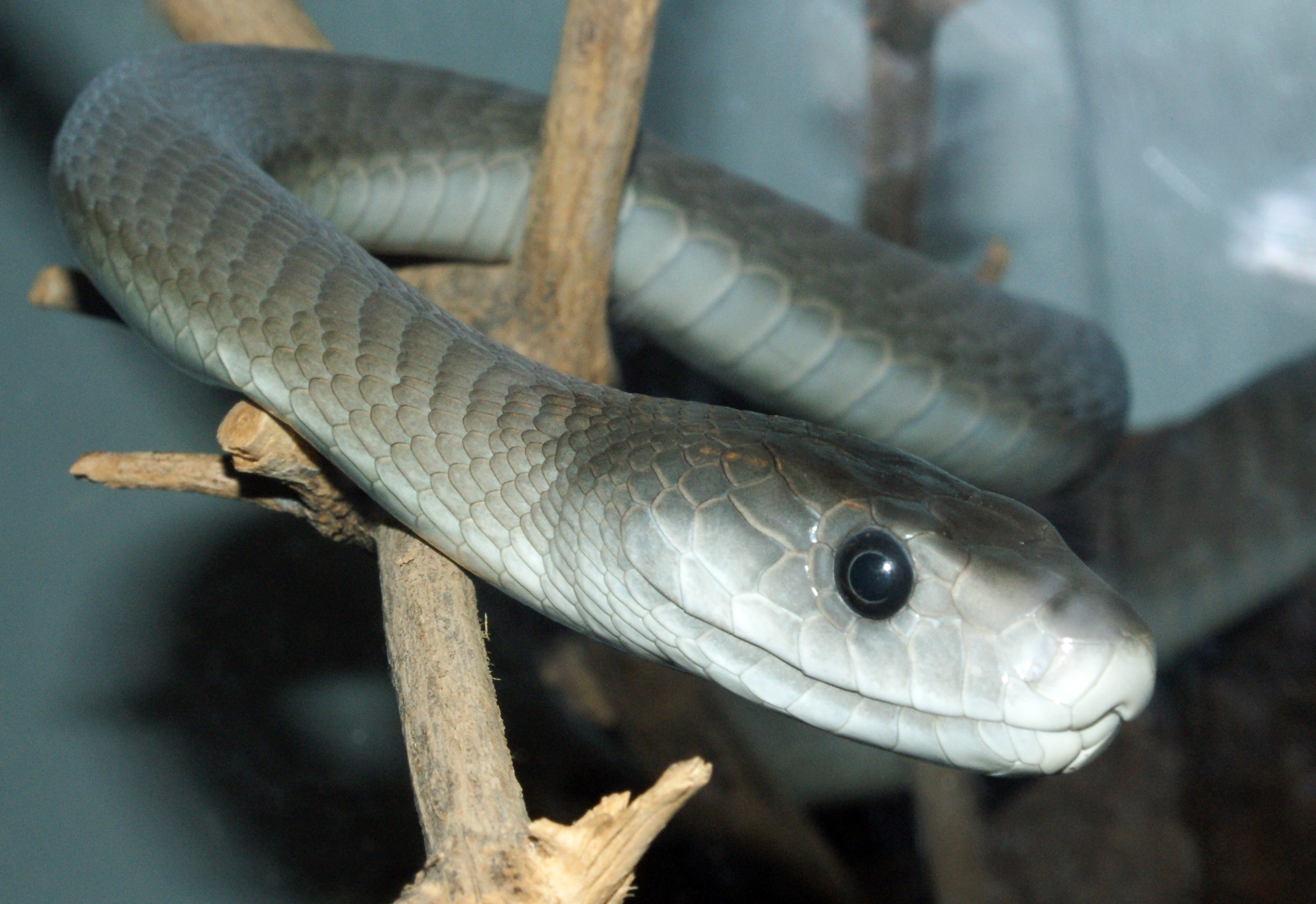 Black Mamba Snake Closeup