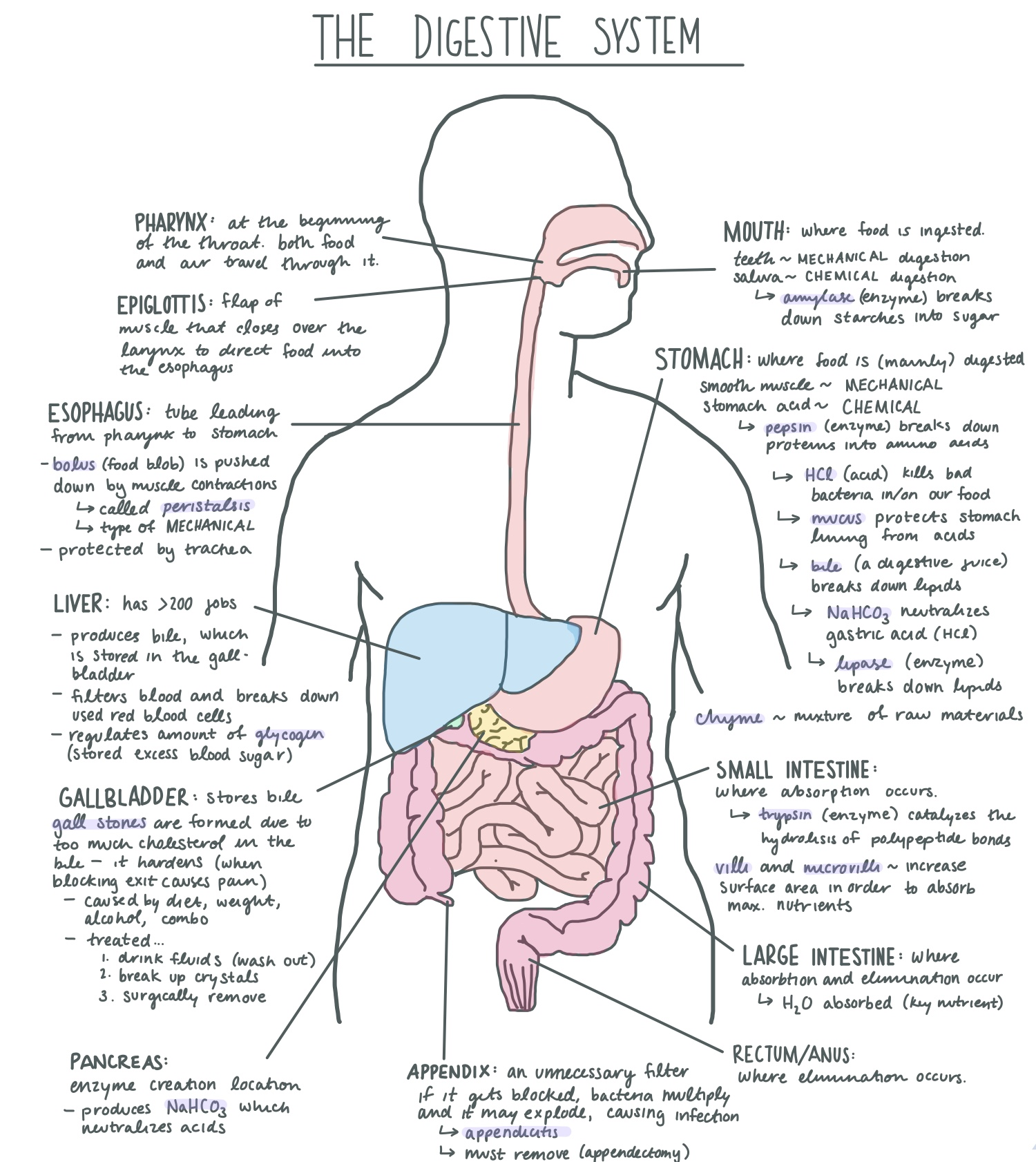Digestive System Diagram | File Digestive System Diagram Jpg Wikimedia Commons