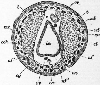 EB1911 Chaetopoda Fig. 16.—Section of Acanthobdella (after Kovalevsky).jpg