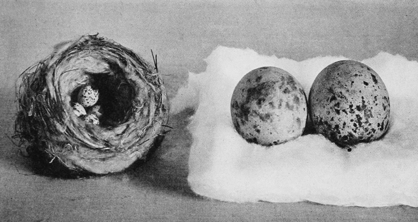 Bird eggs found by Thoreau and given to the Boston Society of Natural History. Those in the nest are of yellow warbler, the other two of red-tailed hawk. Eggs BSNH 1930.png