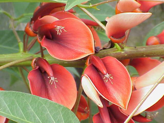 Archivo:Erythrina crista-galli2.jpg