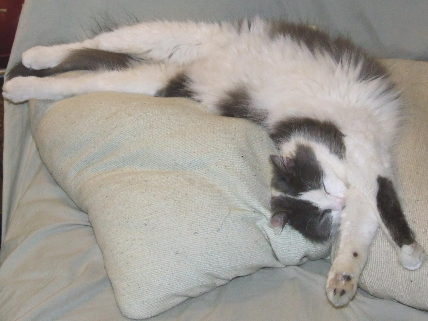 Felis_silvestris_catus_%28cat_stretching