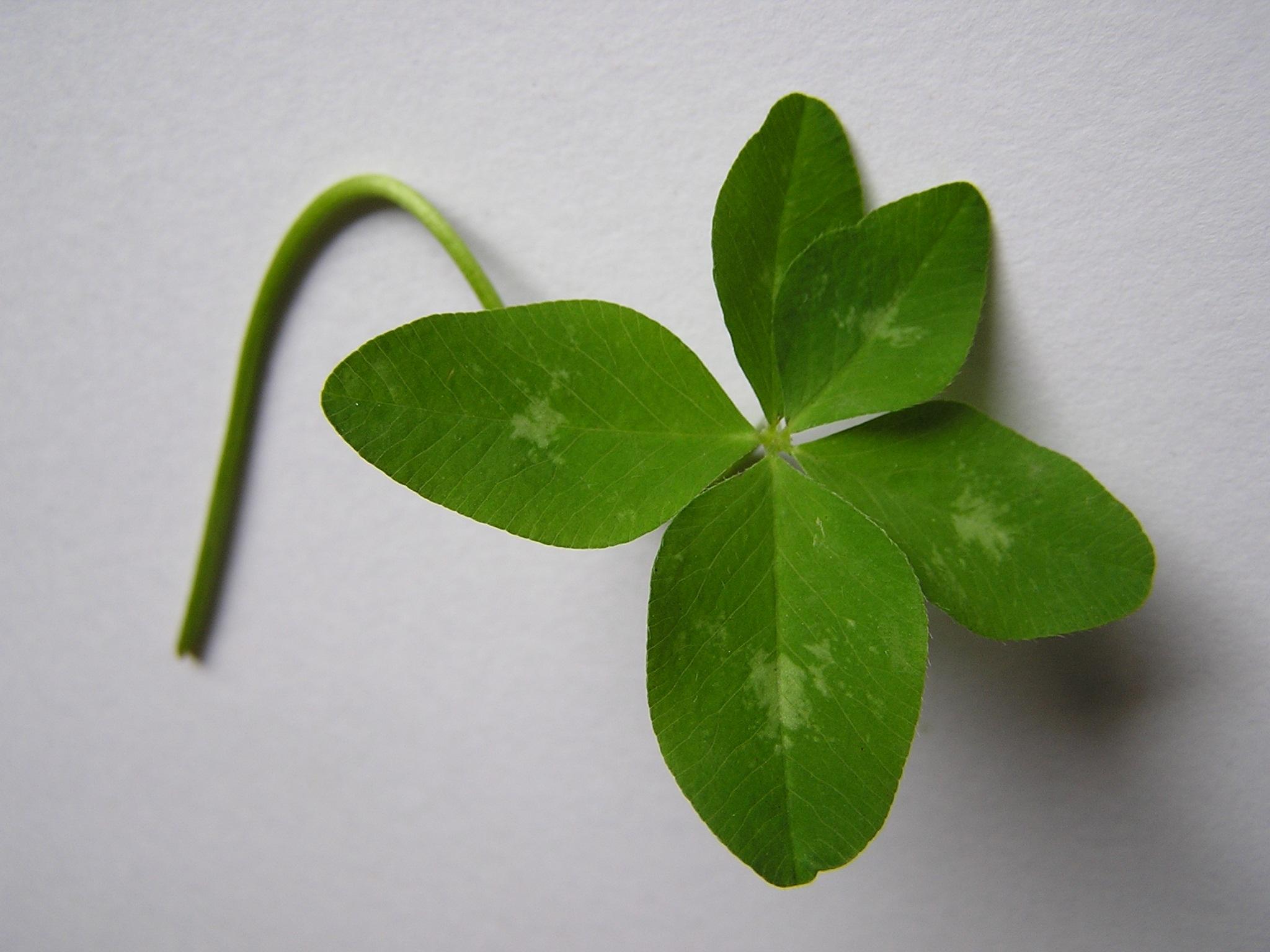 FileFive Leaf Clover Trifolium MediumJPG