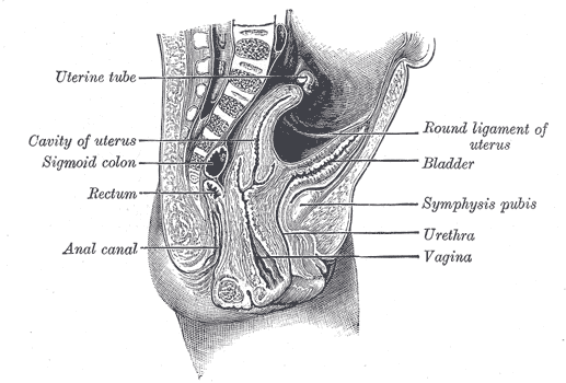 Round ligament of uterus - Wikipedia