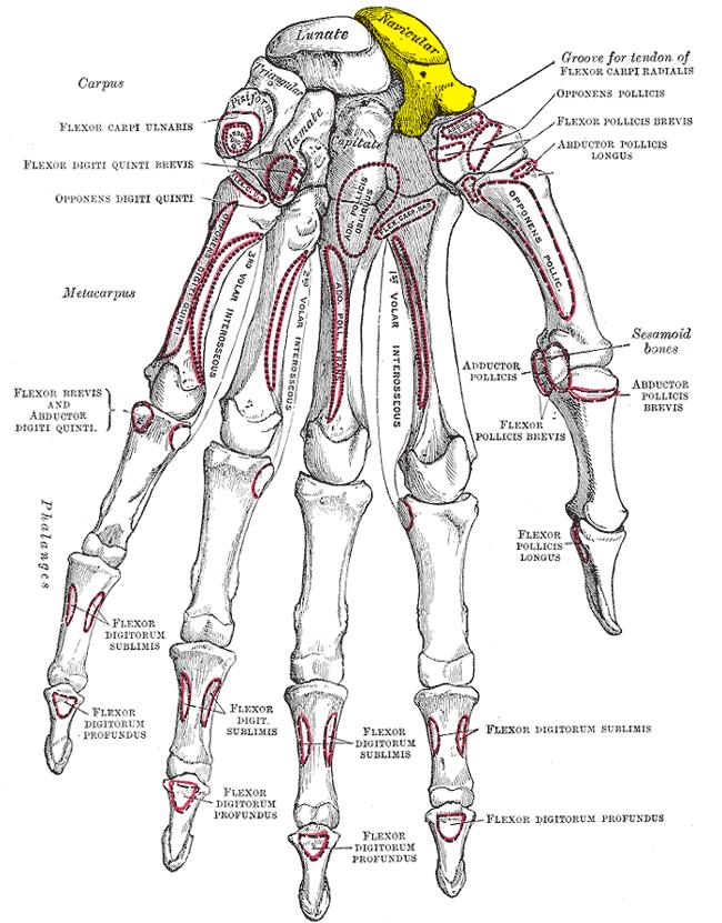 Scaphoid Bone Wikiwand