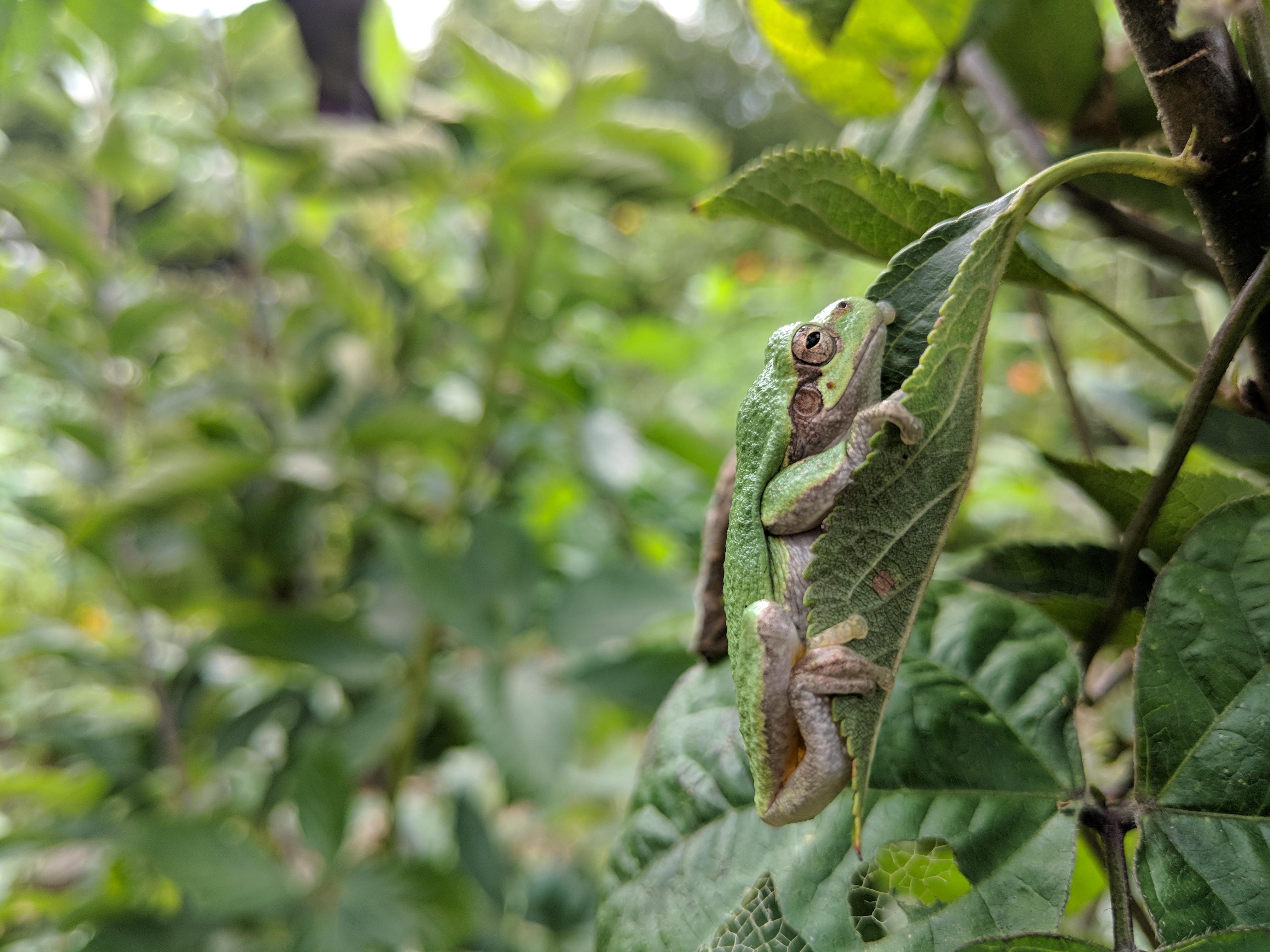 Gray Treefrog (Dryophytes versicolor)