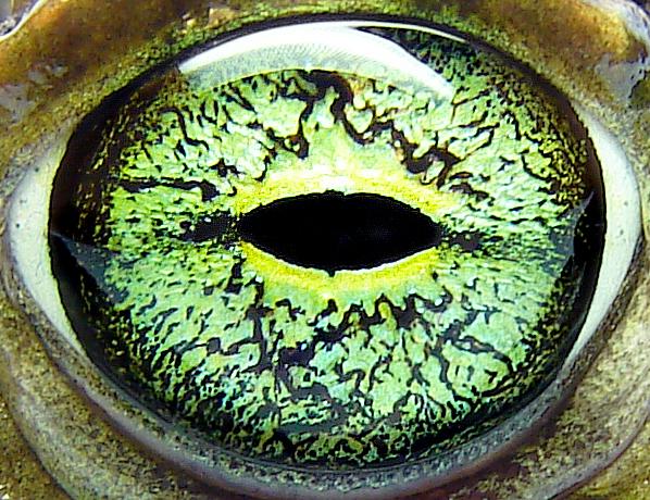 Vision In Toads Wikipedia
