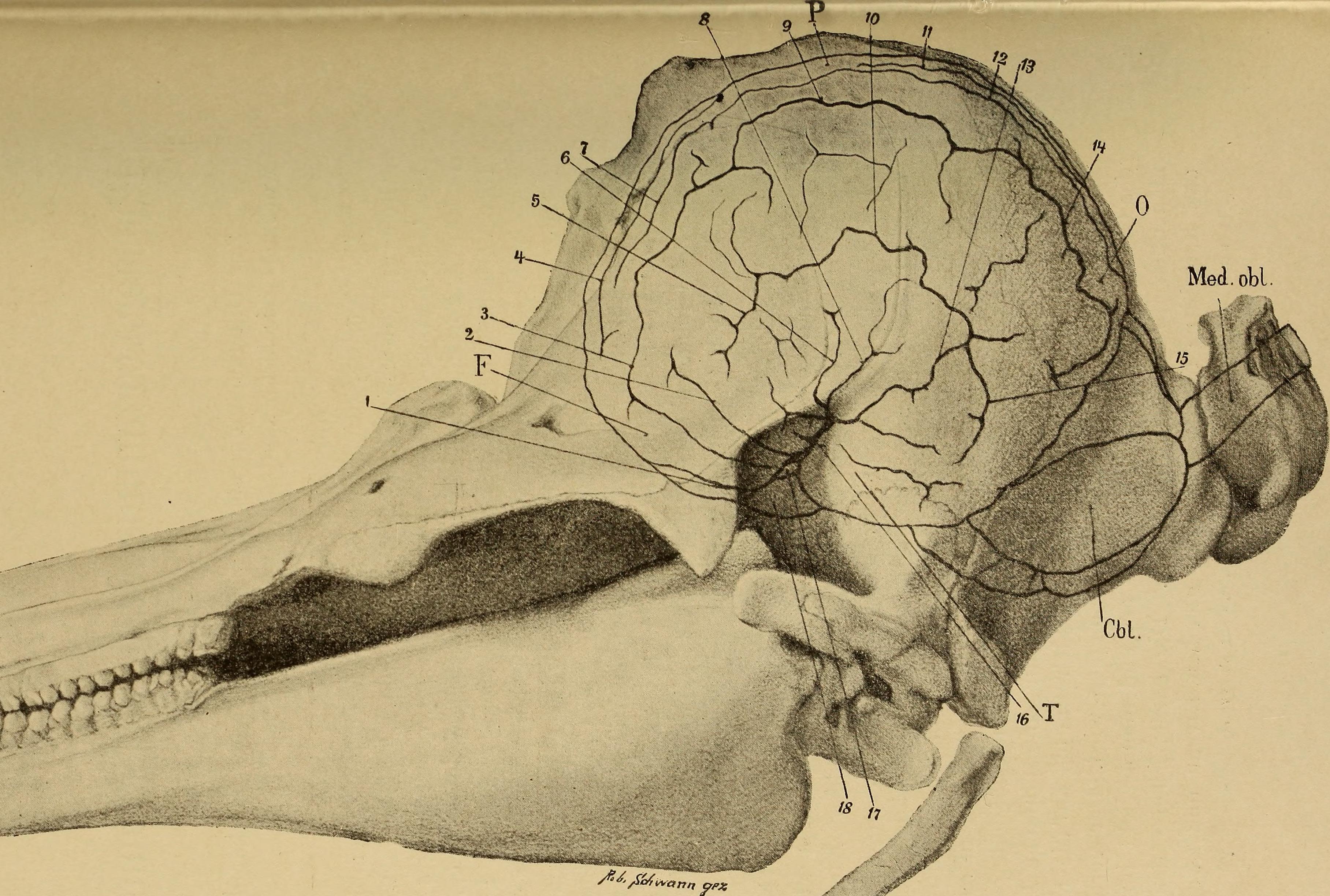 File:Handbuch der Anatomie und vergleichenden Anatomie des ...