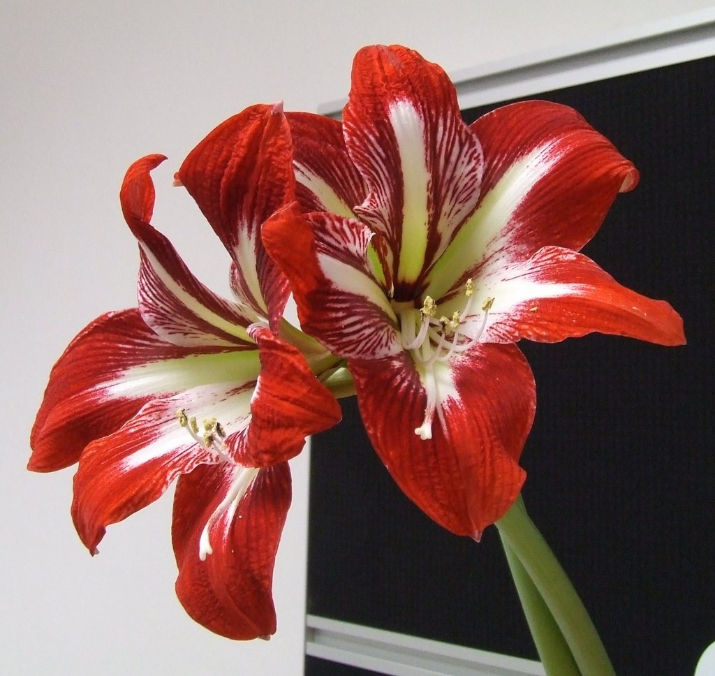Rittersterne wikipedia for Amaryllis hippeastrum