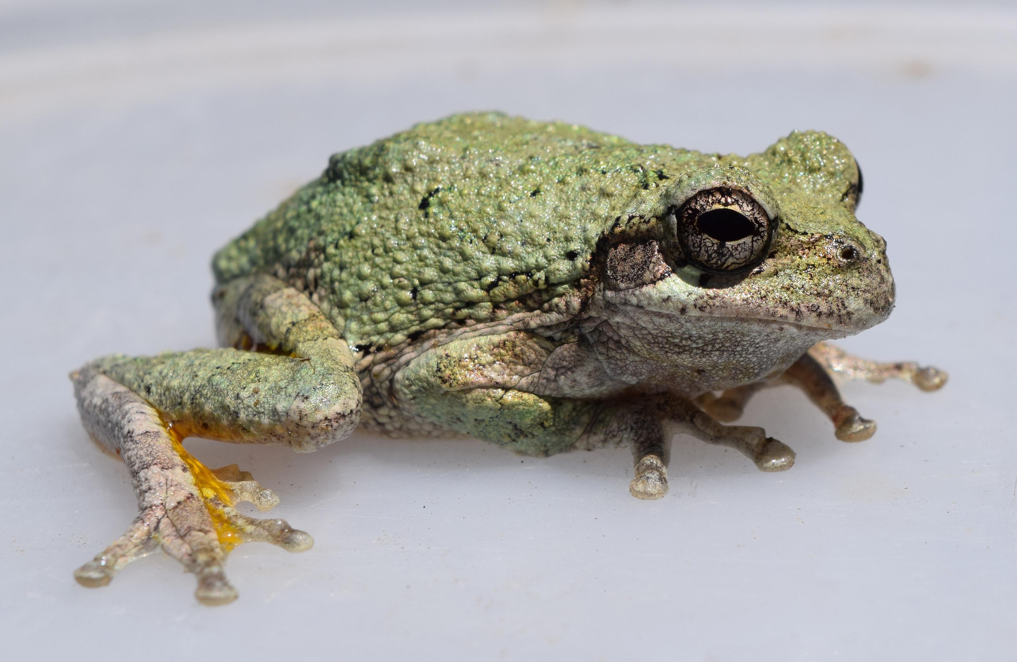 Cope's Gray Tree Frog (Dryophytes chrysoscelis)