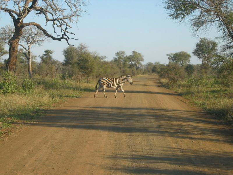 File:Kruger Park Zebra.jpg