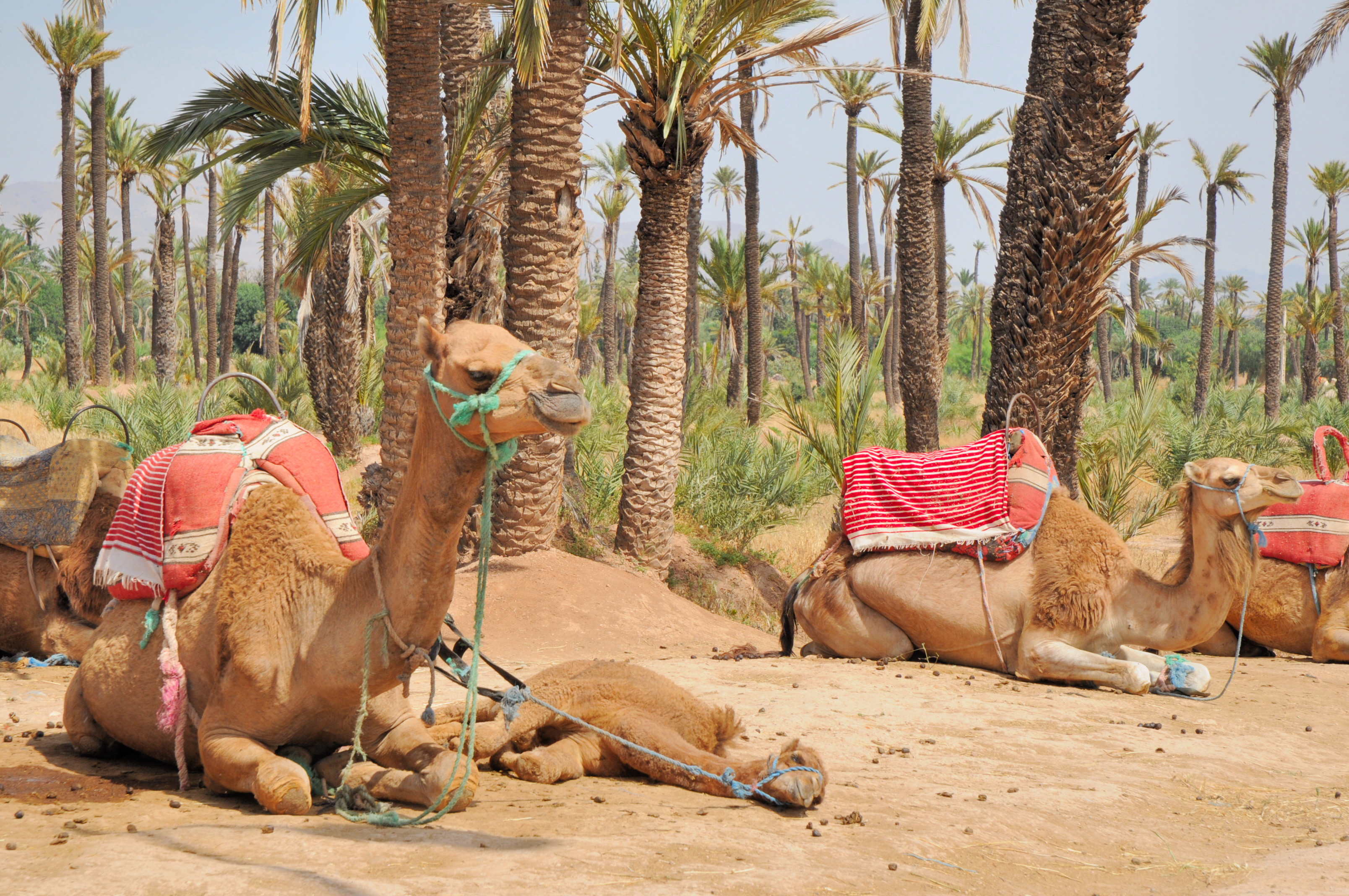 Camello en Marrakech