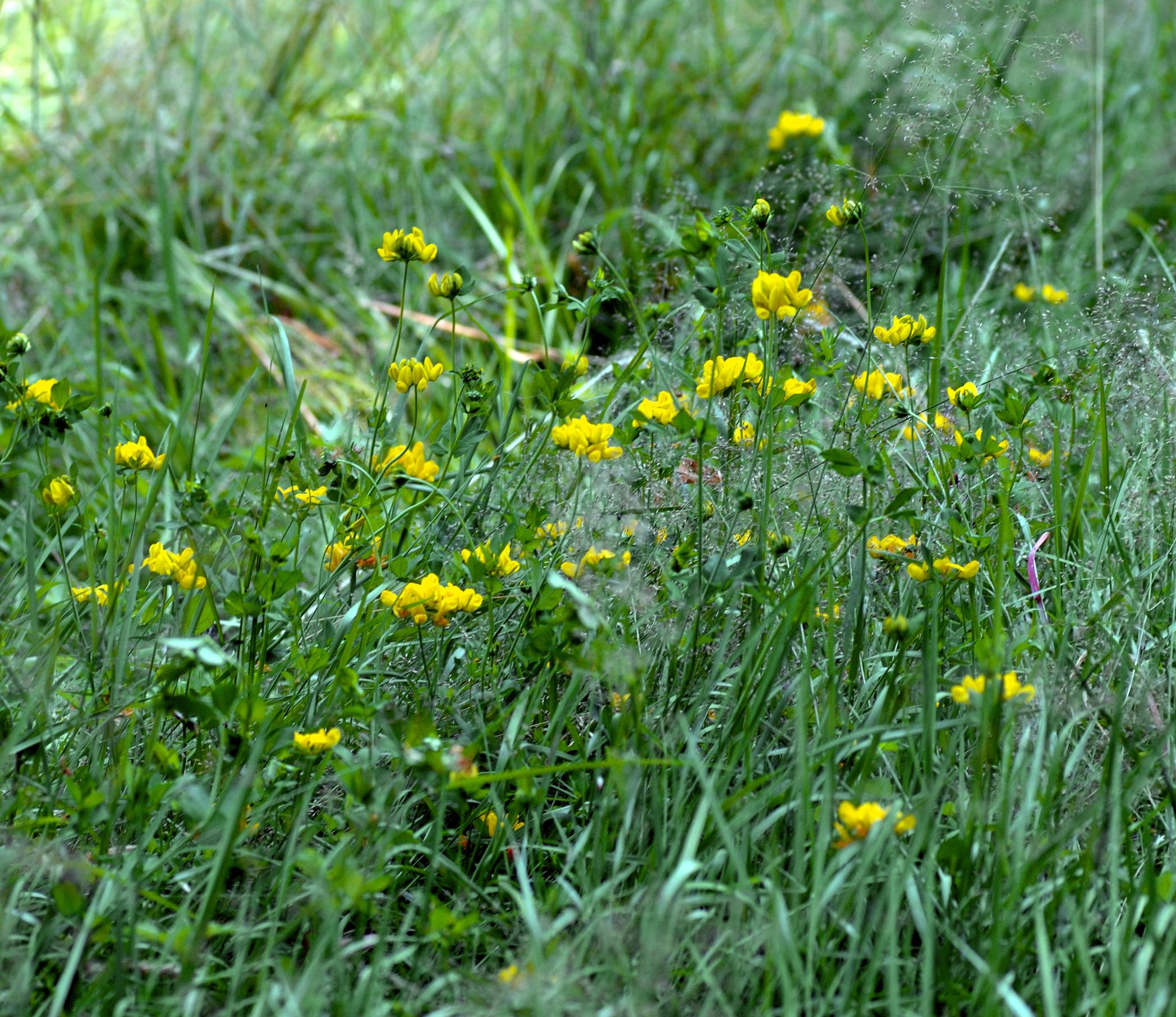 Dataja:lotus pedunculatus - many plants (aka)