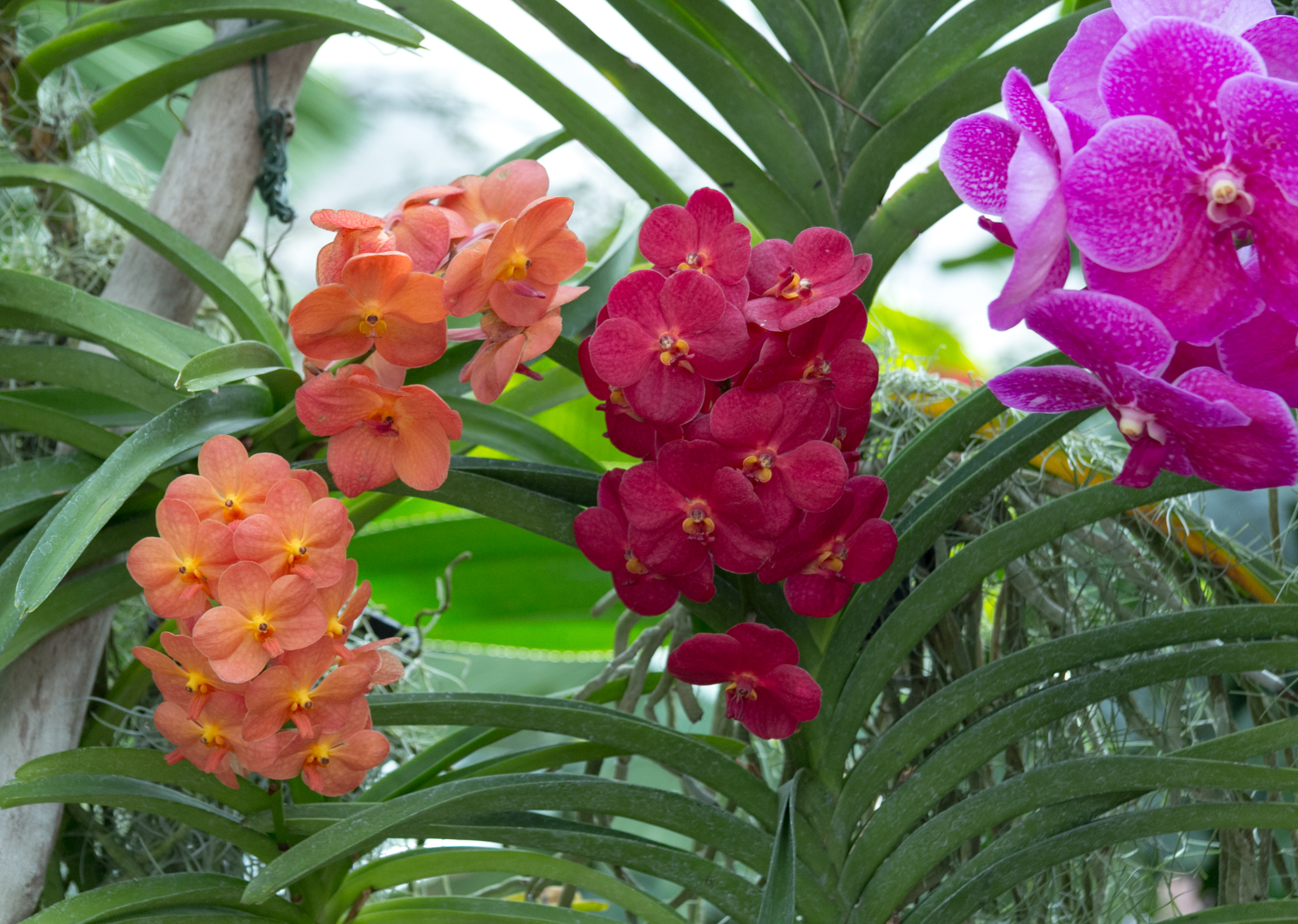 file mainau orchideen orchideen im schmetterlingshaus. Black Bedroom Furniture Sets. Home Design Ideas
