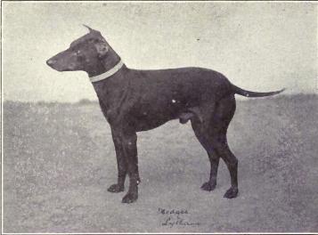 https://upload.wikimedia.org/wikipedia/commons/7/76/Manchester_Terrier_from_1915.JPG