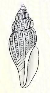 <i>Mangelia subaustralis</i> Species of gastropod