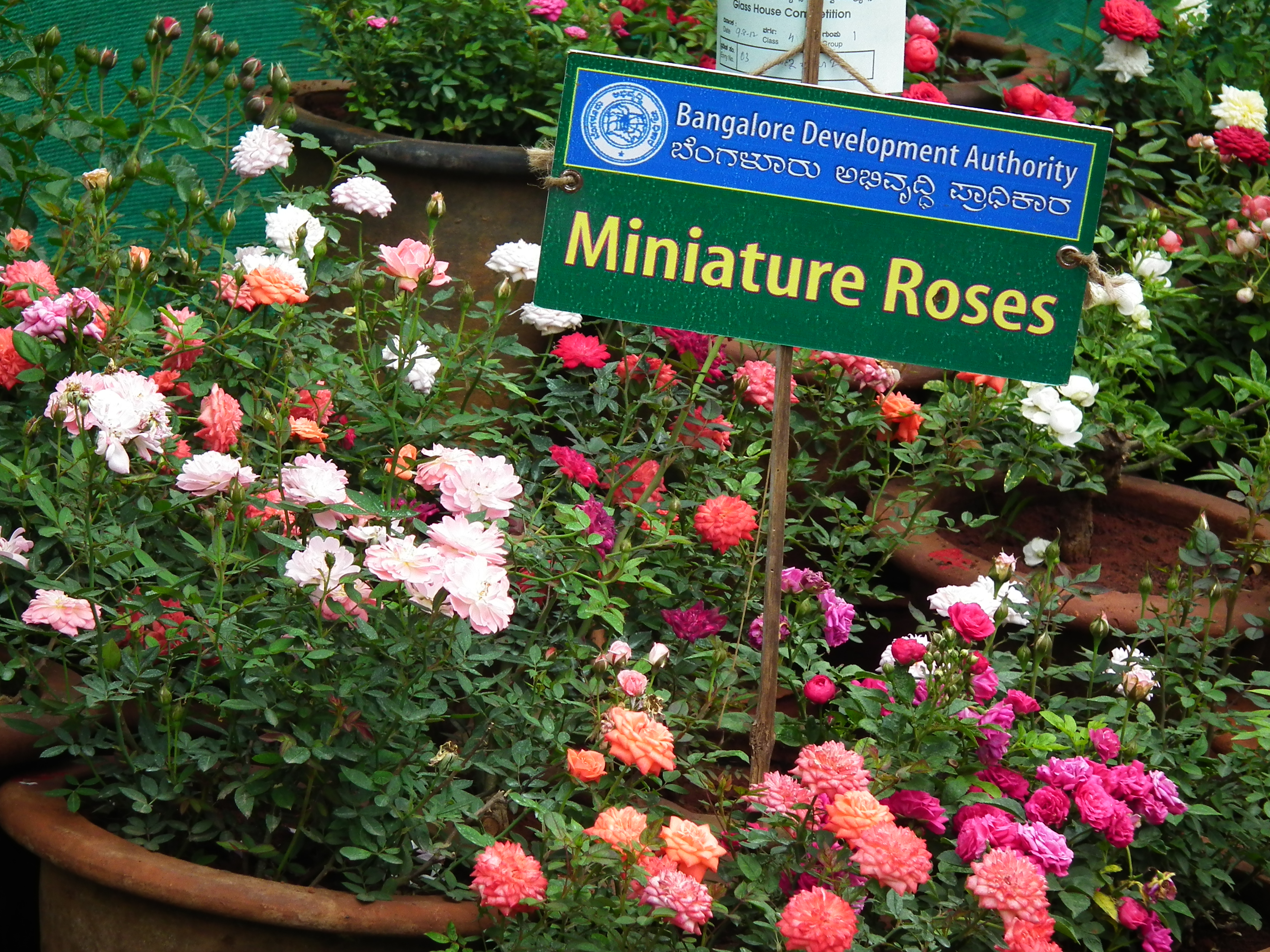 File miniature rose from lalbagh flowershow august 2012 - Rosier miniature exterieur ...