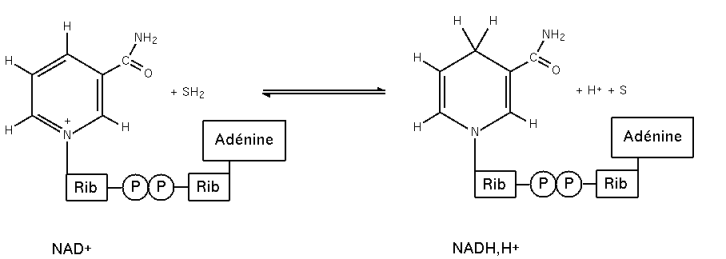 File:Nad redox.png - Wikimedia Commons