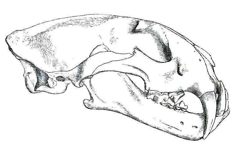 la pantera nebulosa NeofelisMacroscelisPZS