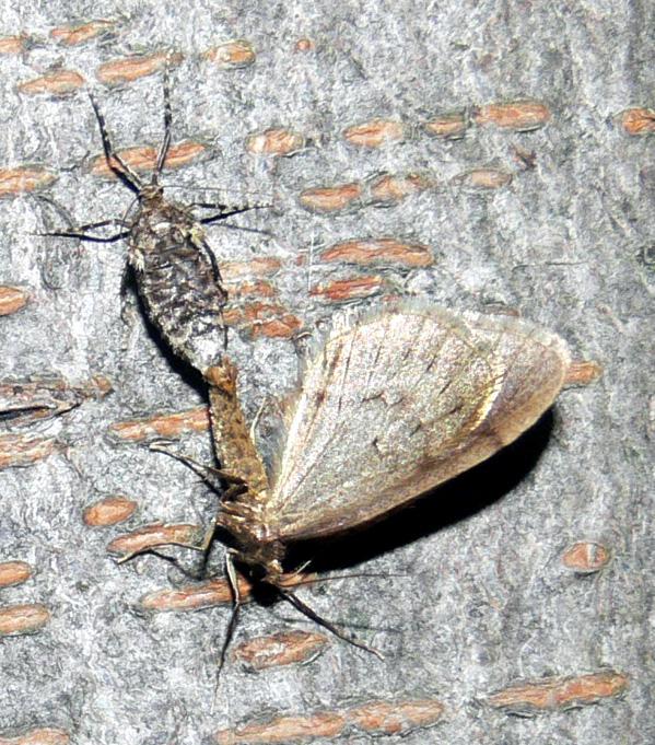 Operophtera brumata (copula) | Kleine wintervlinder - Wintermoth