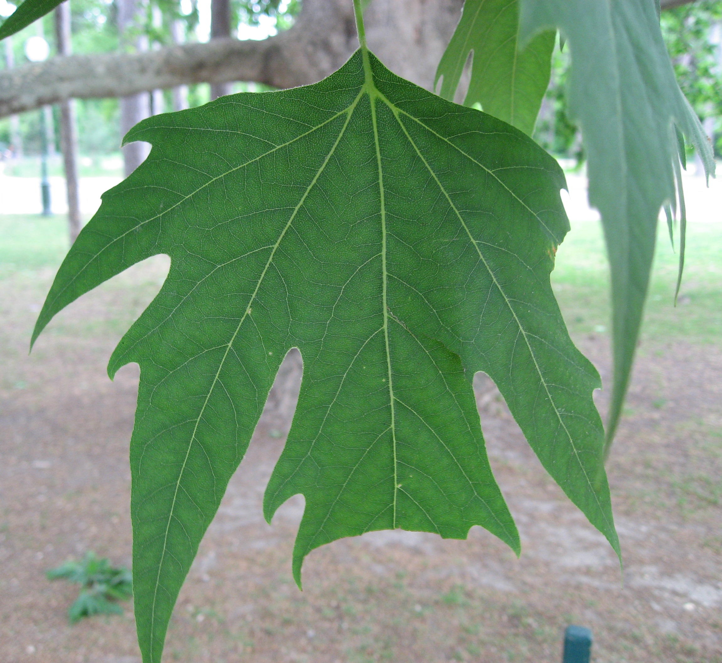 FilePlatanus orientalis leaf by Line1jpg  Wikimedia Commons