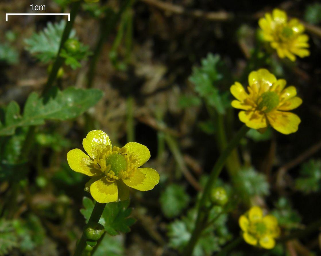 Ranunculus Flabellaris Wikipedia