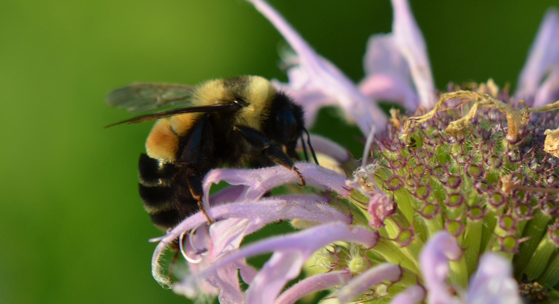 Image result for rusty patched bumble bee