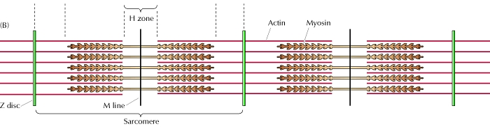 Sarcomere chem114a.jpg