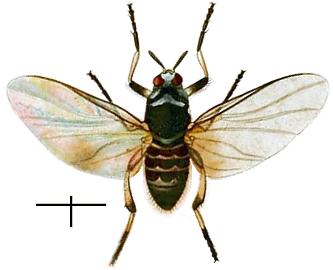 Black fly - Wikipedia