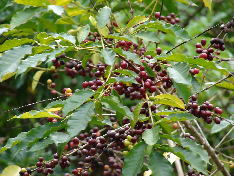 Coffea for Coffea arabica