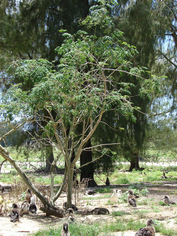 how to use moringa drops