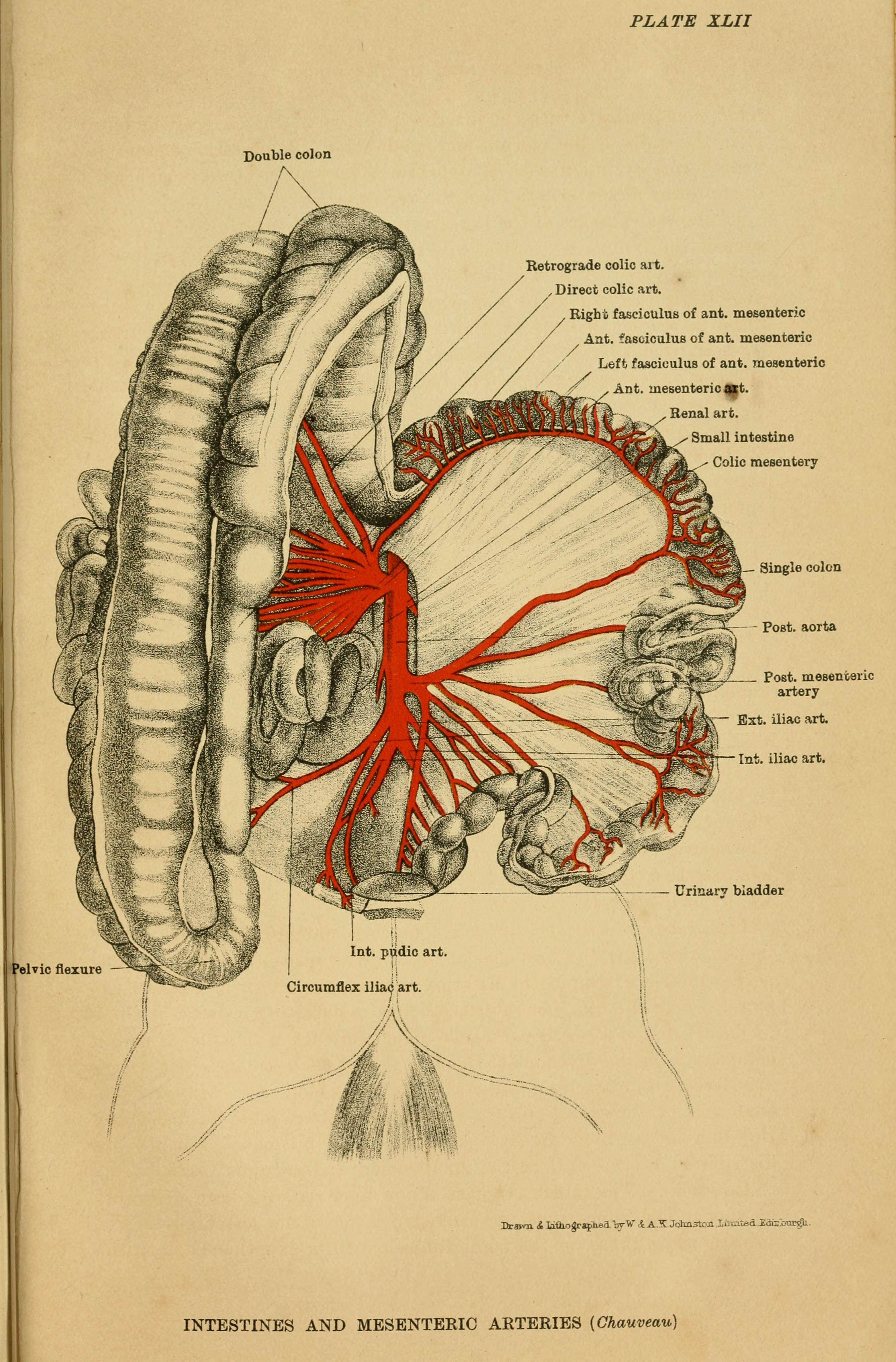 File:The anatomy of the horse - a dissection guide (1922 ...
