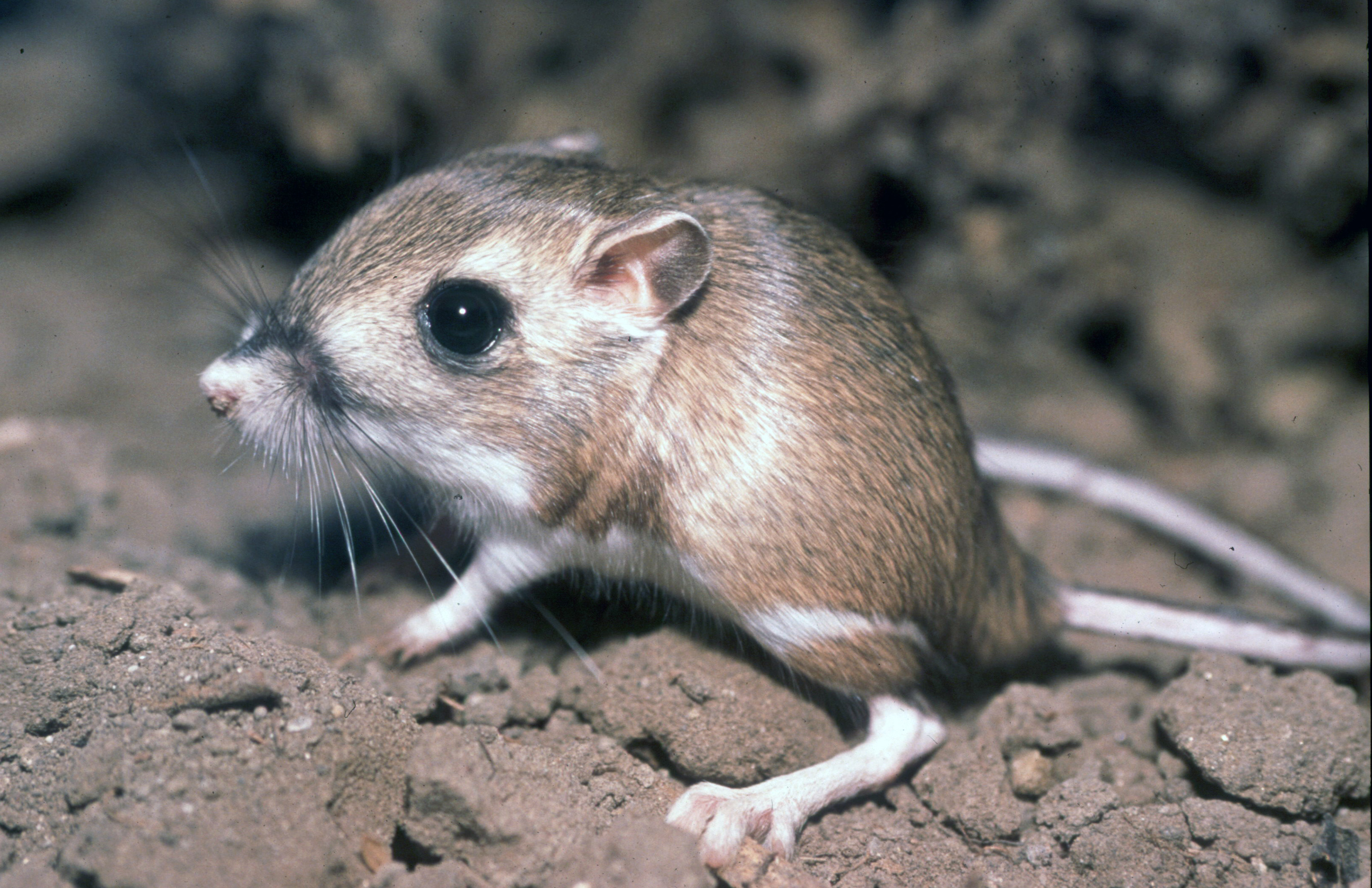 Rata canguro, un animal excepcional en su aprovechamiento del agua.