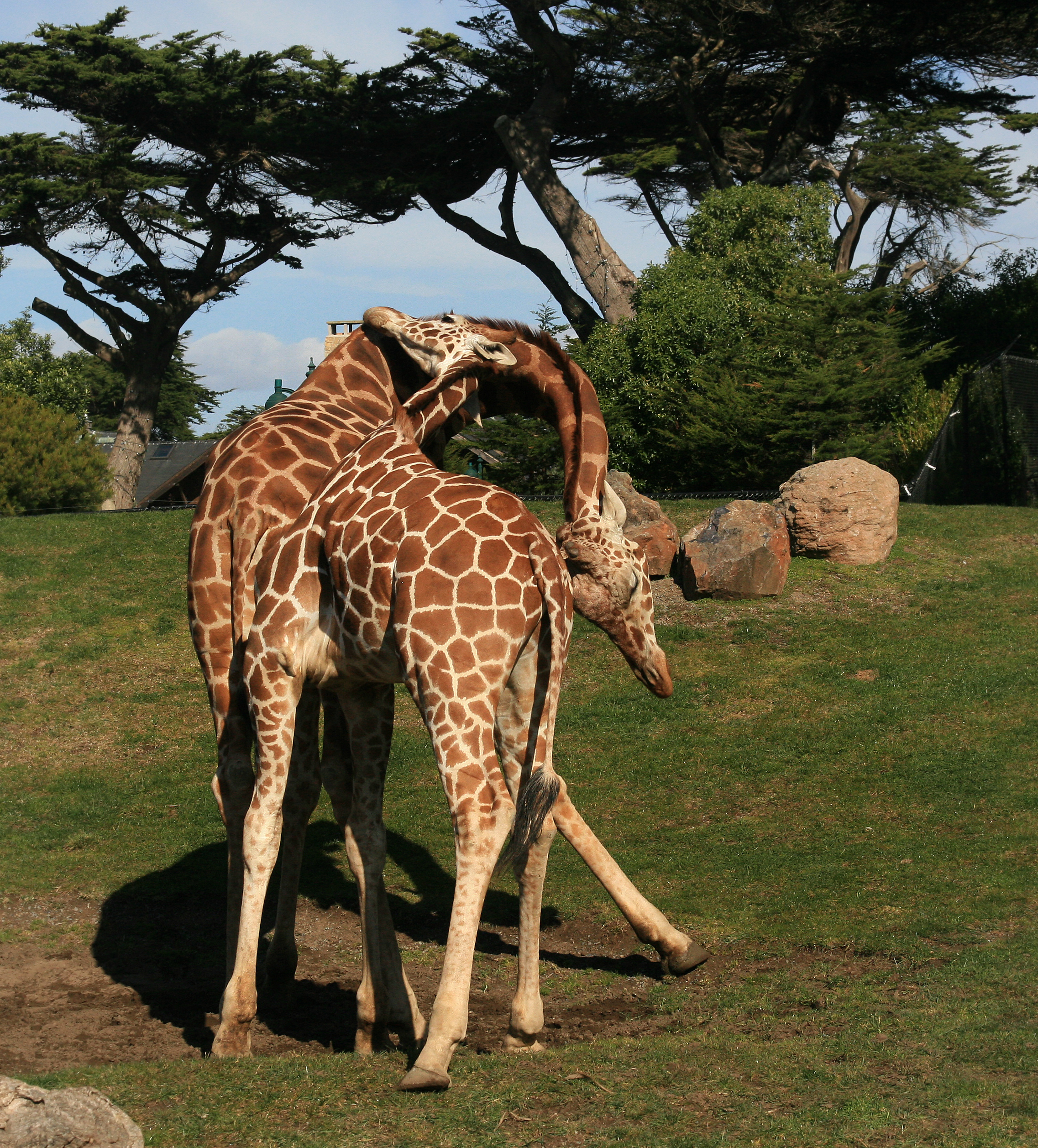 file two male giraffes are necking in san francisco zoo jpg