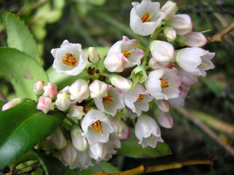 Vaccinium membranaceum Huckleberry Flowers