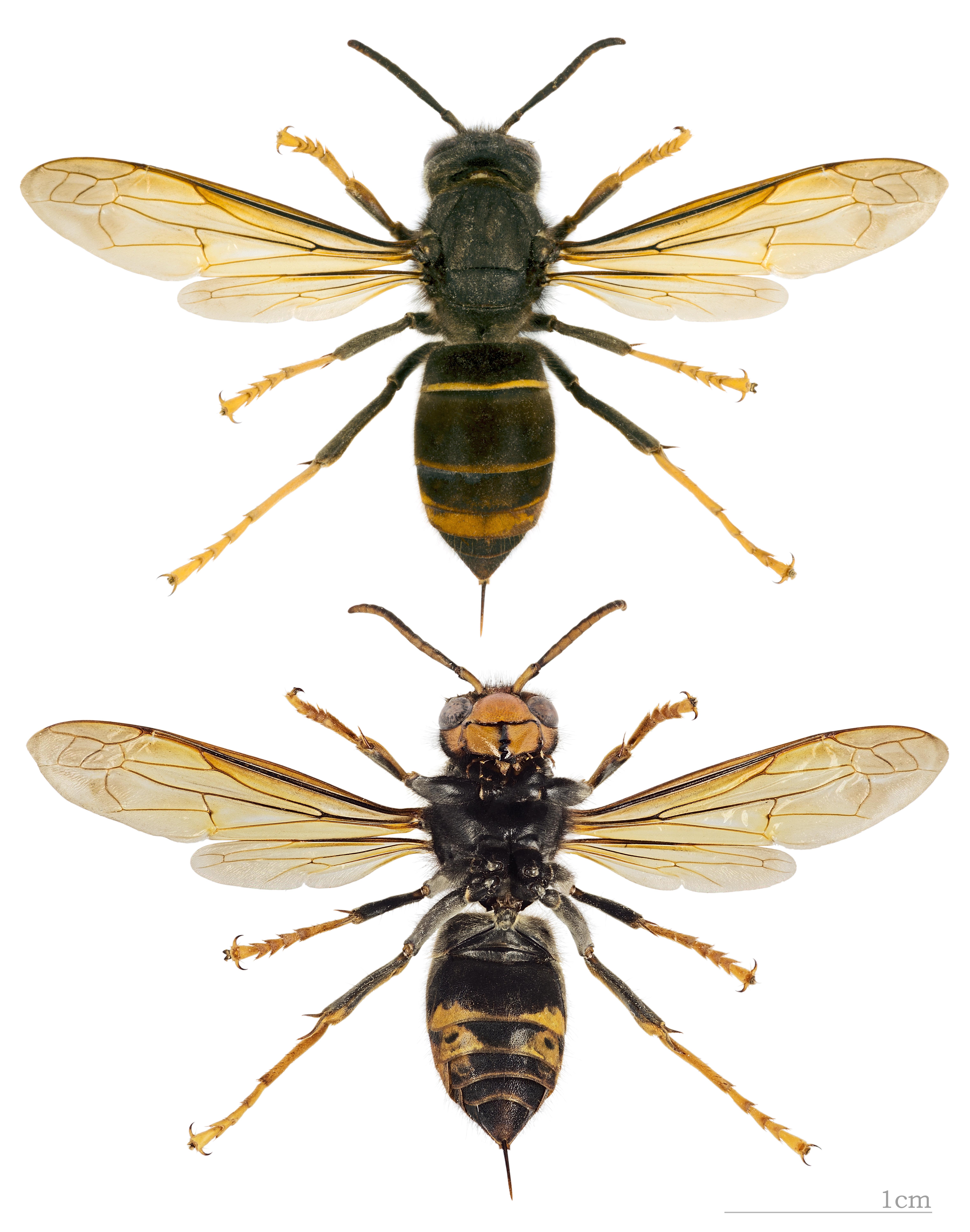 http://upload.wikimedia.org/wikipedia/commons/7/76/Vespa_velutina_nigrithorax_MHNT.jpg