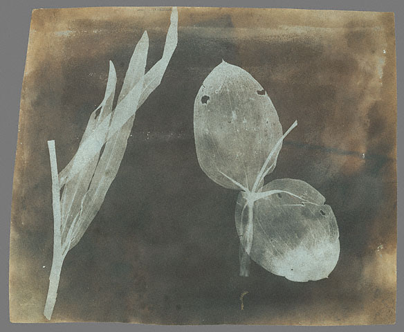 File:William Henry Fox Talbot - Leaves of Orchidea.jpg